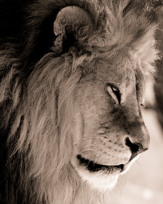 Lion Photography - Lion photograph, lion picture, lion print, african lion, wildlife photography, sepia tone, fine art photograph, lion art