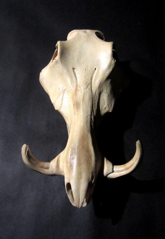 Vintage Warthog Skull