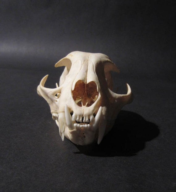 On SALE Cat Skull Natural Bone In Near Perfect Condition