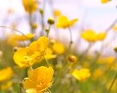 "Flower Photography,Fine art photography,Nature Photography,Nature Print, Flower print,Hazy Irish Buttercups 18"" x 12"""