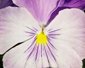 Pansy Purple Flower Spring 4x4 Photography Greeting Card