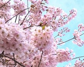 Cherry Blossom 4x6 Pink Tree Blue Sky Photography Print