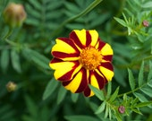 JOLLY JESTER MARIGOLDS - annual flower seeds in an eco-friendly handmade recycled paper envelope