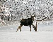 Baby Moose, wild animals, snow, winter, wildlife, moose, cabin decor, New Hampshire, New England, fine art, wall art