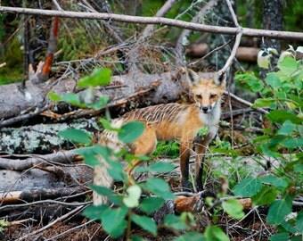 New Hampshire Photography, fox, Nature photography, landscape photography, fine art, woods, wildlife, New England, art, rustic decor