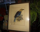 Just reduced from 30.00 Beautiful large vintage print of a Bluebellied Roller bird. 21 x 17 inches...