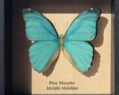 Blue Morpho (Cramer's Blue) Butterfly