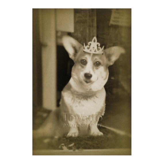 Corgi Photo, British Royal Family, Dog Photograph, Funny Shop Window, Pet Photography, Crown