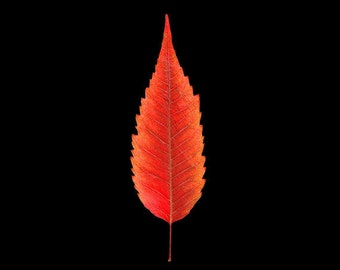 Nature Photography, Leaf Art, Fine Art Photograph, Botanical Print, Red Still Life, Minimalist Art, Cute Single Leaf, Black Decor, Wall Art
