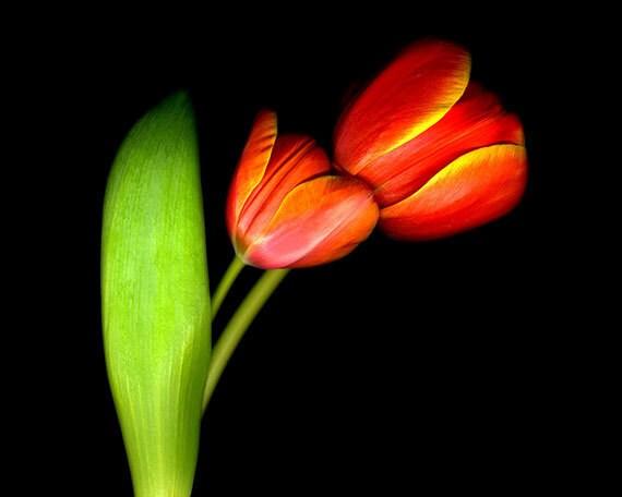 Flower Photography, Tulips, Fine Art Photograph, Nature, Nursery Decor, Spring Flowers, Garden Art, Red Orange Wall Art, Floral Home Decor