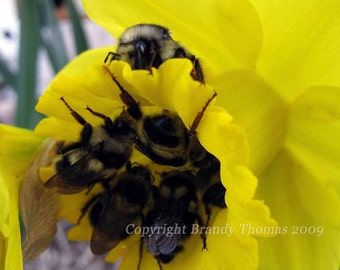 Where the Bees Sleep --photo print of a bees filling a daffodil