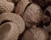 Natural Organic Acorn Caps Ready For Holiday Crafting Or Decorating