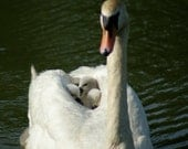 A mother swan and her three signets