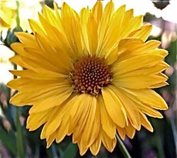 Gaillardia aristata Seeds - Yellow