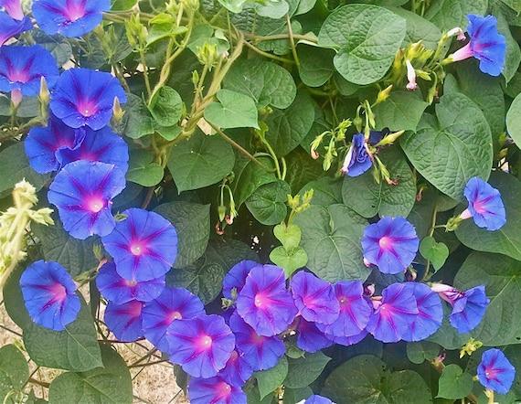 Morning glory ipomoea purpurea from mizztizzysweedsseeds for Ipomea purpurea