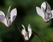 Cyclamen Print - White Flowers & Dark Green Background