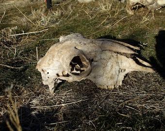 sheep skull polled(no horns)