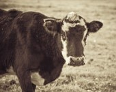 Cow Photograph, Cow Portrait In Field, 8x10 Photo - Perplexed