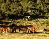 Fine Art Photography, Wild Mountain Horses Photograph, Canvas or Photo Paper Print, 8x10, 8x12, 11x14, 10x15, 16x20, 16x24, 20x24, 20x30