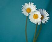 Flower Photograph Daisy Canvas or Photo Paper Fine Art Print Daisy Macro Closeup 12x12, to fit ikea ribba