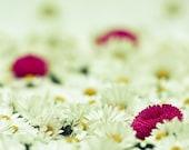 Fine art photography, Flower photography, Daisies Macro Photo Fine Art Print, pink white yellow 8x10 or 8x12, wedding