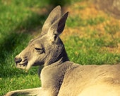 Kangaroo Photography, Animal Fine Art Photography 8x10 or 8x12 Canvas or Photo Rag Paper Print