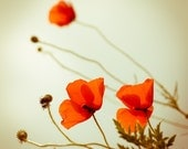 Summer Photography, Poppies Photo Print, Dreamy Photograph, Flower Photography Bright Red, Canvas or Photo Paper, 4x4 5x5 8x8 10x10 12x12