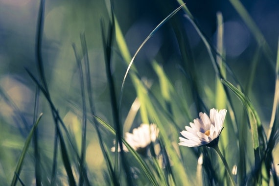 Fine Art Photography, Nature Photography, Flower photo, Daisy green grass print Canvas or Photo Paper 8x12, emerald green blue