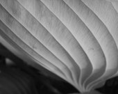 leaf architecture, 5 x 7 photograph