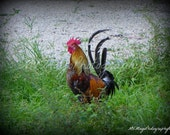 Rooster Print / Rooster Picture / multicolored Chicken / nature / wildlife / photograph / photo card