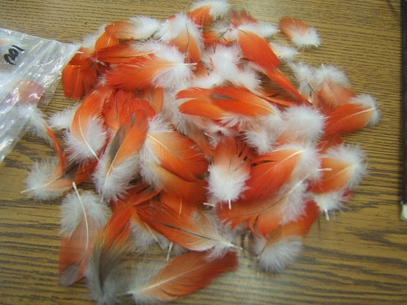 """Naturally Shed - Lot of 100 African Gray Parrot Vent 1 1/2"""" to 2"""" Red Feathers 527"""