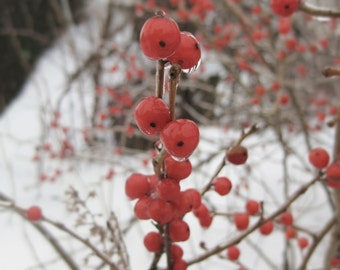 Nature Photography 8x8 Signed Print Red Berries Wall art