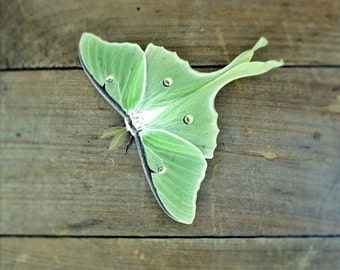 Luna Moth Photo 5x7 Signed Print Green Butterfly Wall Art