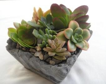 Beautiful potted Succulent garden in unique cement planter.