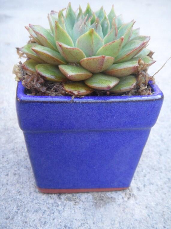 Succulent potted Garden, Echiveria