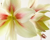 Art Photography Print 8x12 - Floral Photography - Botanical Art Photography - White And Red Flower - Hippeastrum