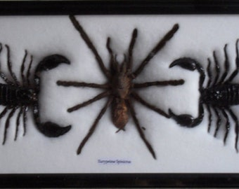 REAL BEAUTIFUL SCORPION spider Framed/IS03