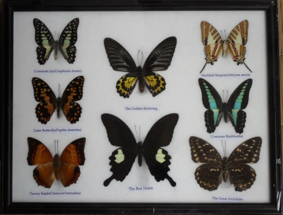 REAL 8 BEAUTIFUL  Butterflies Collection Framed / BF20f