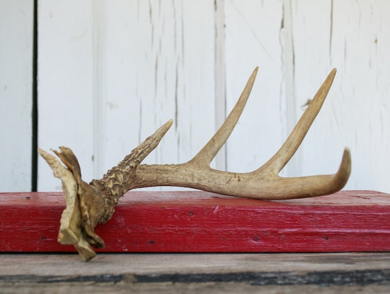 Vintage White Tailed Deer Antler