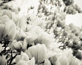 Black and White Magnolia Tree Photograph.  Nature Photography. Flower. Mother's Day. Spring. Home Decor. Fine Art Photography 10x15  123Team - cklausen