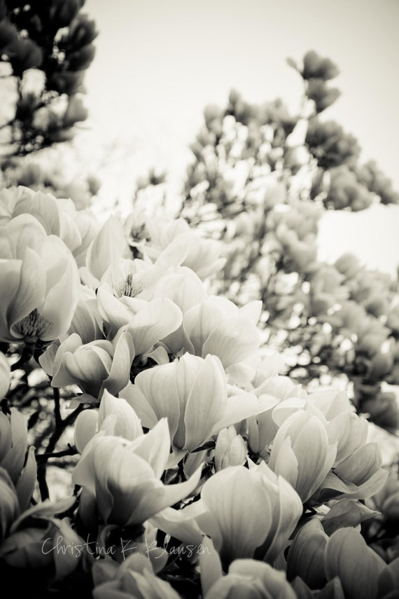 Soft Black and White Flowers. Flower Photography. Magnolia Tree Photo. Nature. Blooms. Spring. Black and White. Fine Art Photography