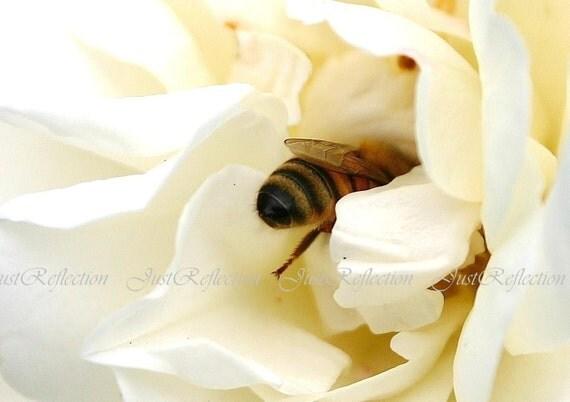 Hard Working Bee Ivory Rose Fine Art Photograph 6x9 Photoprint