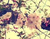 Nature Photography - Cherry Blossoms
