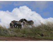 Zebras and Clouds, Tanzania - Photo Postcard 4 x 6