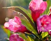 "Glowing Weigela, 10"" x 14"", flower phoptography, garden flower, nature photography, sunshine"