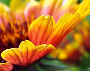 Arizona Sun in the Garden, garden flower, flower photography, floral photography
