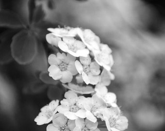 White Flowers - flower photography, flower greeting card, greeting card, balck and white photography
