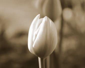TULIP - fine art photography, flower, tulips, sepia, flower photography, office decor, home decor