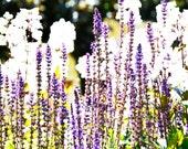 Sunset  Fine Art Print 11 x 14 inches purple lavender nature delphiniums flowers dreamy romantic