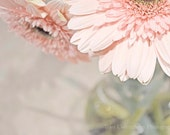 Passionately Pink  8 x 12 inch Fine Art Photo Print gerber daisy pink whimsy distressed shabby chic girlie flower nature